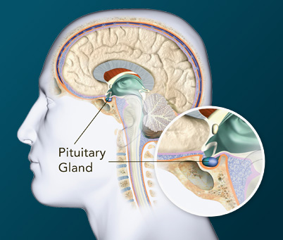 Image of illustration of pituitary gland